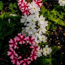 Photo Of Howard Pine S Garden Center Green Houses Lawrence Ks