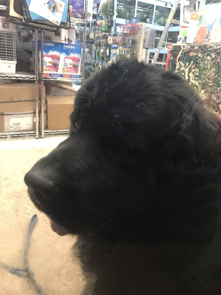 Cute Newfoundland Puppy Inside The Store Not Sure If Hes For Sale