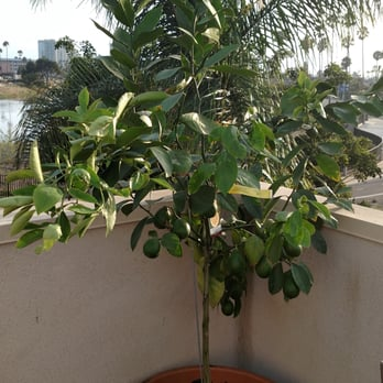 Photo Of Hashimoto Nursery Los Angeles Ca United States Meyers Lemon Tree