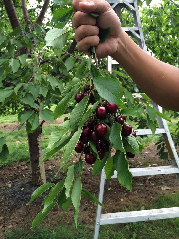 Gulick's Orchard: 6317 Kaylor Rd, Bangor, PA