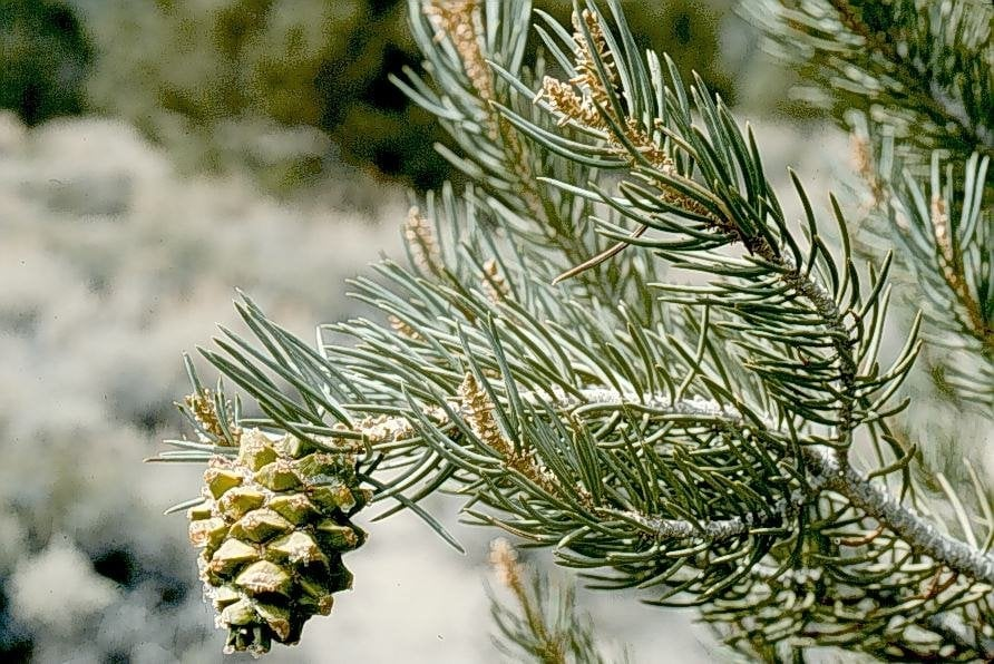 Single Leaf Pinon State Tree Yelp