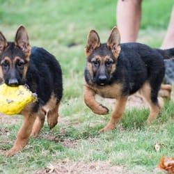 Von der Otto German Shepherds - 96 Photos - Pet Services