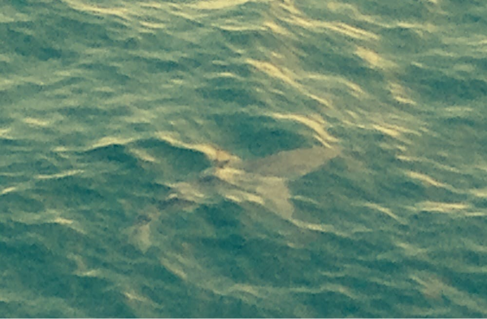 Spotted a shark from the pier yelp for Kure beach fishing report