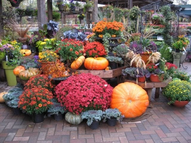 Chalet Nursery And Garden Center: Chalet's Fall Selection Of Flowering Plants, Gourds And
