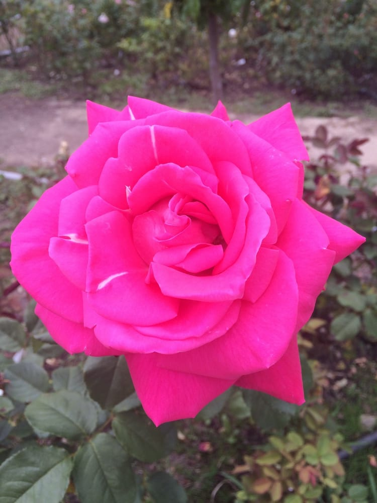 Roses In Garden: Photos For Morcom Municipal Rose Garden