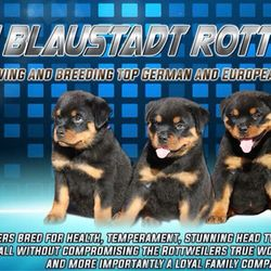 Vom Blaustadt Rottweilers Get Quote Pet Breeders 9290 Big