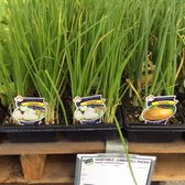 Photo Of Green Acres Nursery Supply Folsom Ca United States Chives