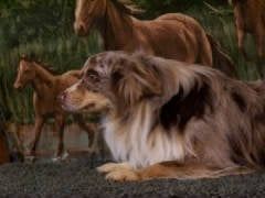 Carole's Cowdogs Toy and Miniature Aussies: Delta, PA