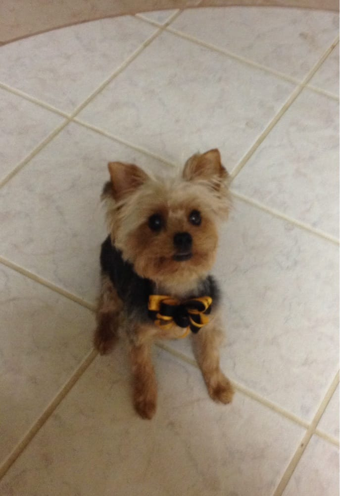 My Yorkie After Her Summer Haircut Yelp