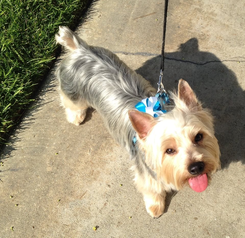How to Groom a Silky Terrier photo