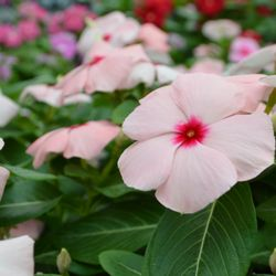 Photo Of Cornelius Nursery Houston Tx United States Cora Vinca