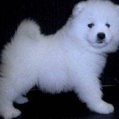 Kabeara Samoyeds - 41 Photos & 17 Reviews - Pet Breeders