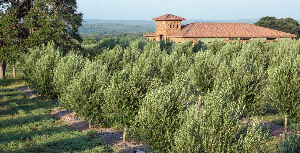 Texas Hill Country Olive