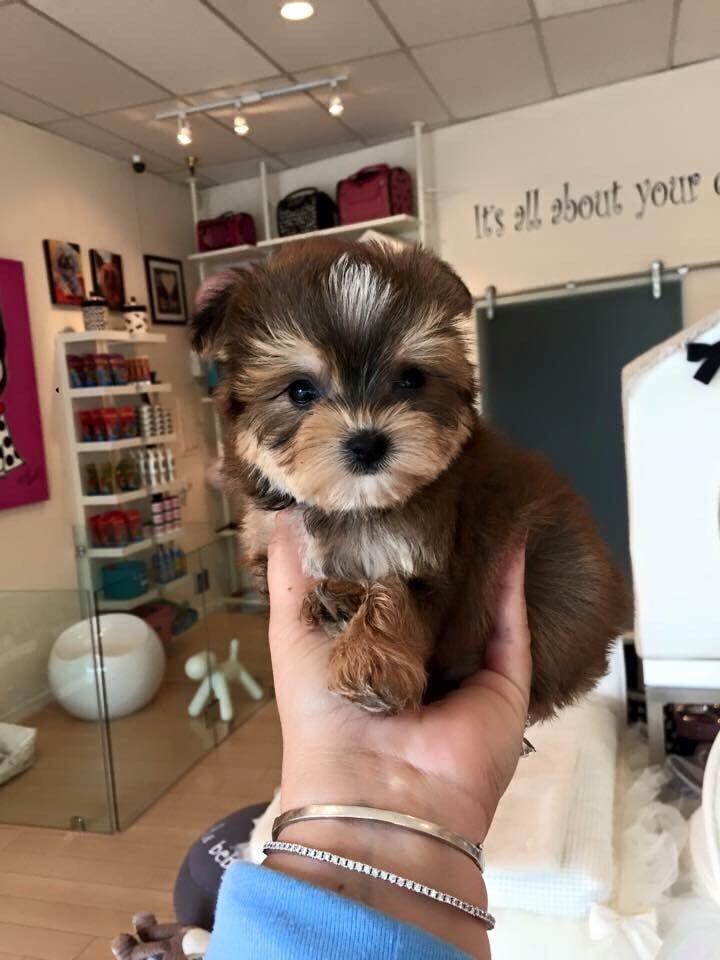Morkie (Maltese & Yorkie) beautiful baby at Woof Woof Puppies