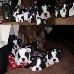 Left Coast Bulldogs Pet Stores Vacaville Ca Phone Number Yelp