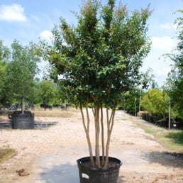 Photo Of Treeland Nursery Gunter Tx United States Tuscarora E Myrtle
