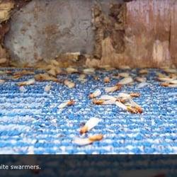Photo Of Pacific Coast Termite Orange Ca United States
