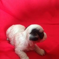 Yorkie Pups of Texas - Pet Breeders - 10505 Dessau Rd