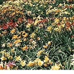 Seawright Gardens Daylilies Hostas Closed Nurseries
