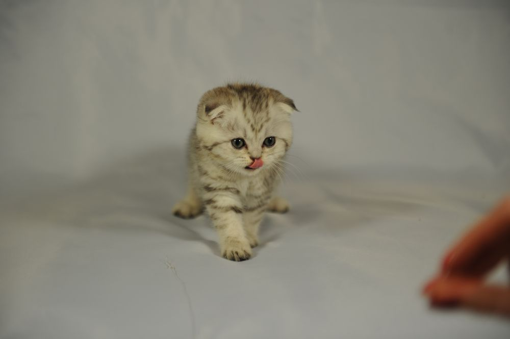Scottish Fold Kittens: 139 Bay 50th St, Brooklyn, NY