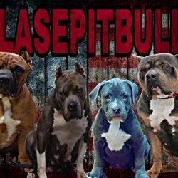 Clase Pitbull Bullies - Pet Breeders - Coram, NY - Phone