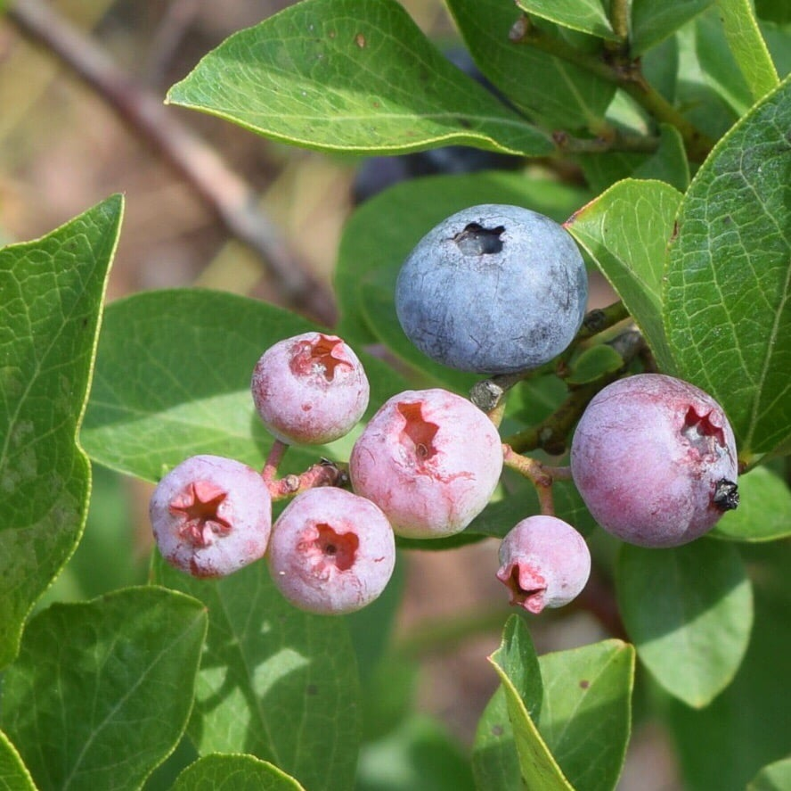 Kernodle's Blueberry Farm: 7081 Friendship Church Rd, McLeansville, NC
