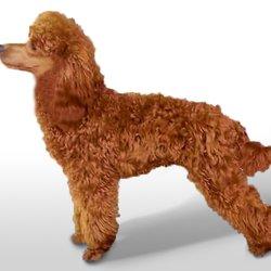 Redscape Miniature Poodles & Miniature Labradoodles - Pet