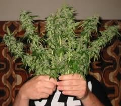 THCplant: 420 Friendly Ln, San Bernardino, CA