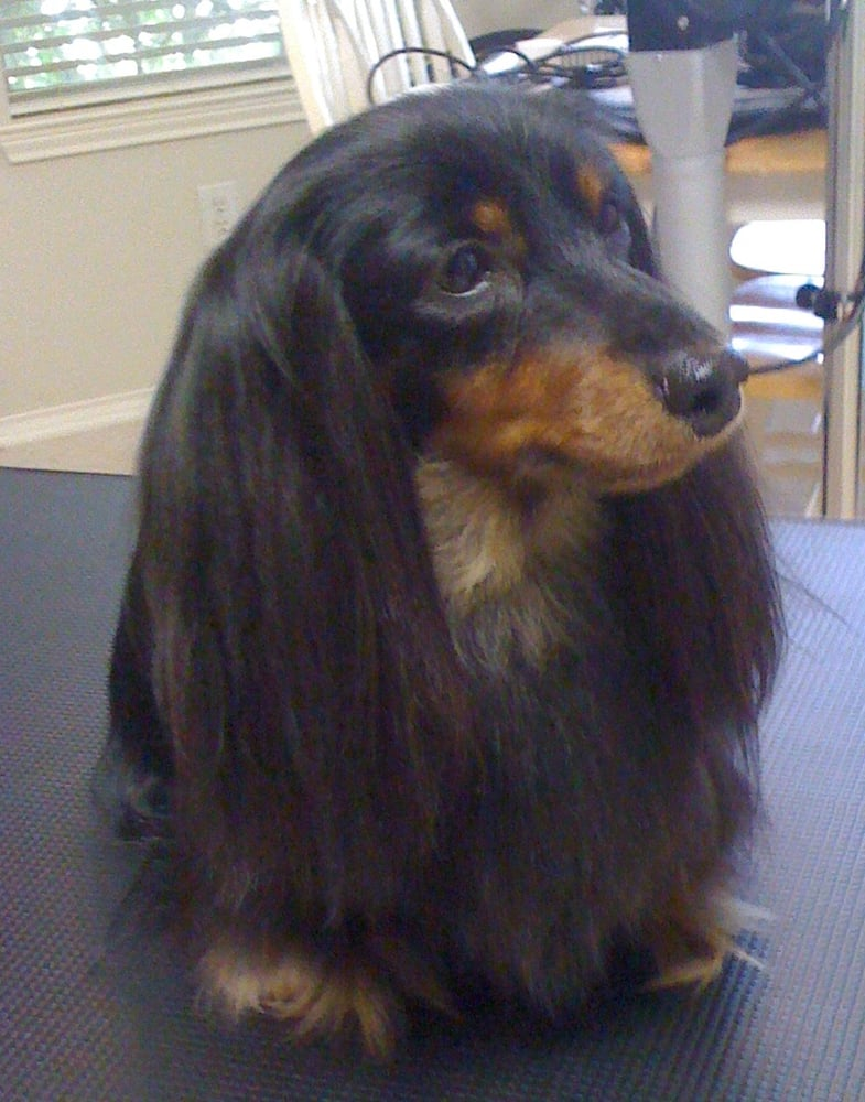 Elvis The Long Haired Dachshund Yelp
