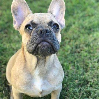 Rare French Bulldogs 87 Photos 16 Reviews Pet Breeders