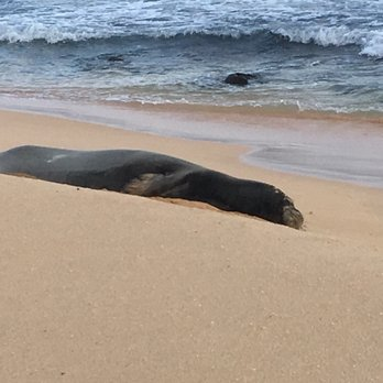 Photo Of Sandy Beach Park Honolulu Hi United States Monk Seal Taking