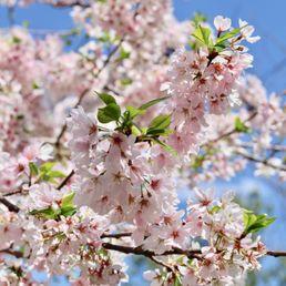 Cherry Blossom Girls