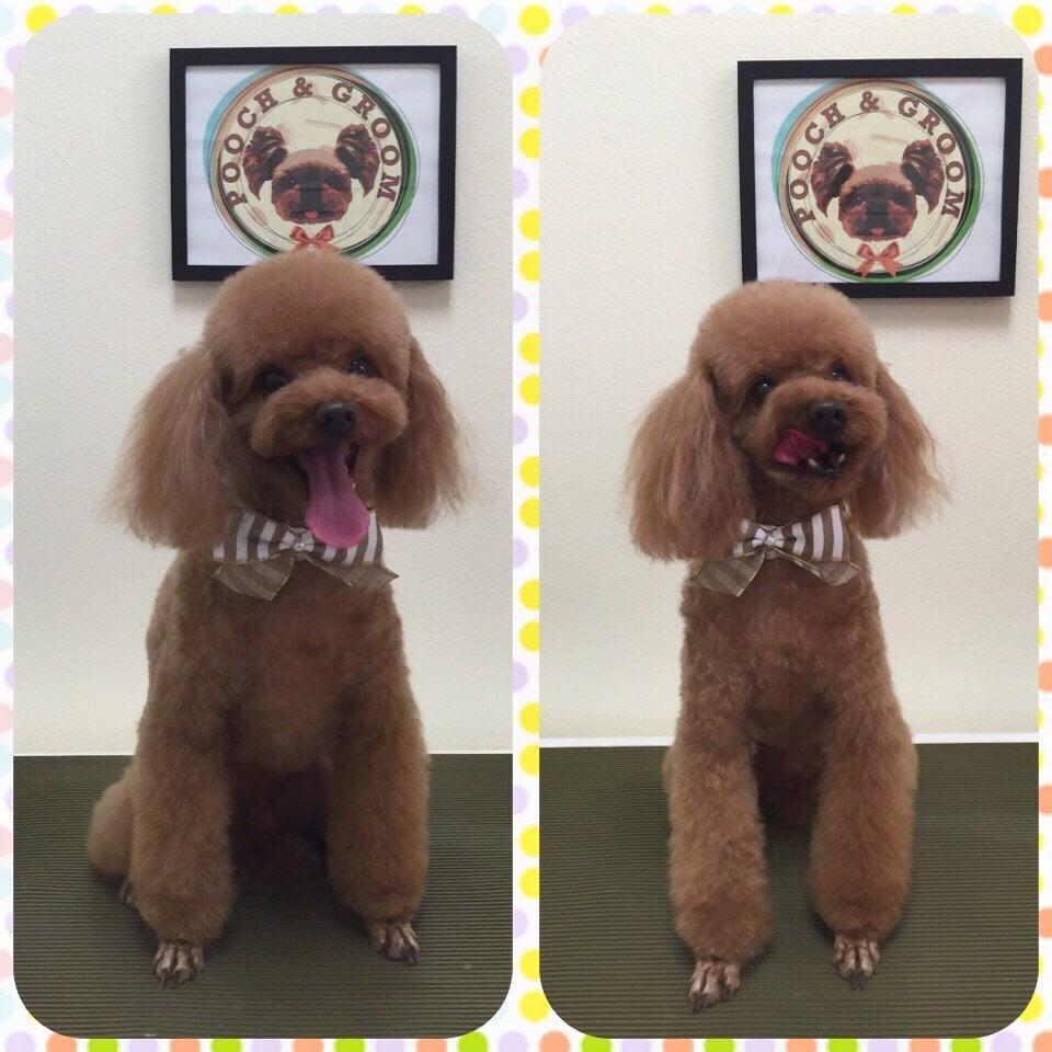 Darcy, The Red Poodle. Teddy Bear Cut W/ Legs Scissor