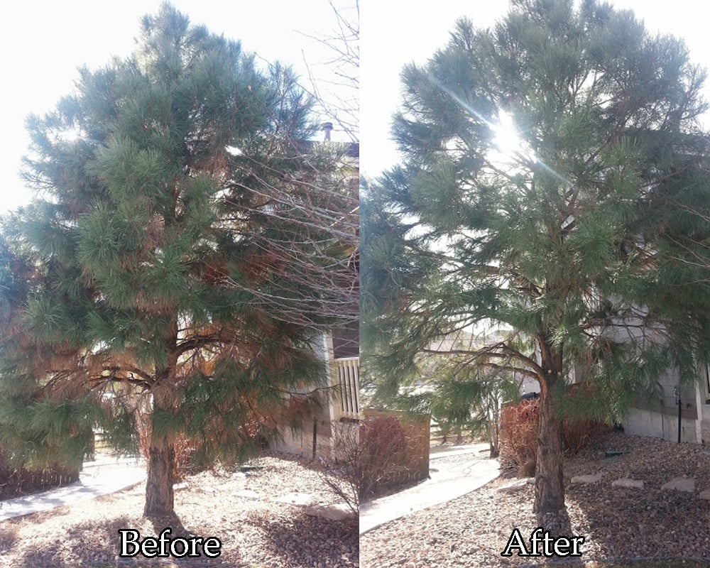 Photo Of Tanglewood Tree And Lawn Lakewood Co United States Quality Pine