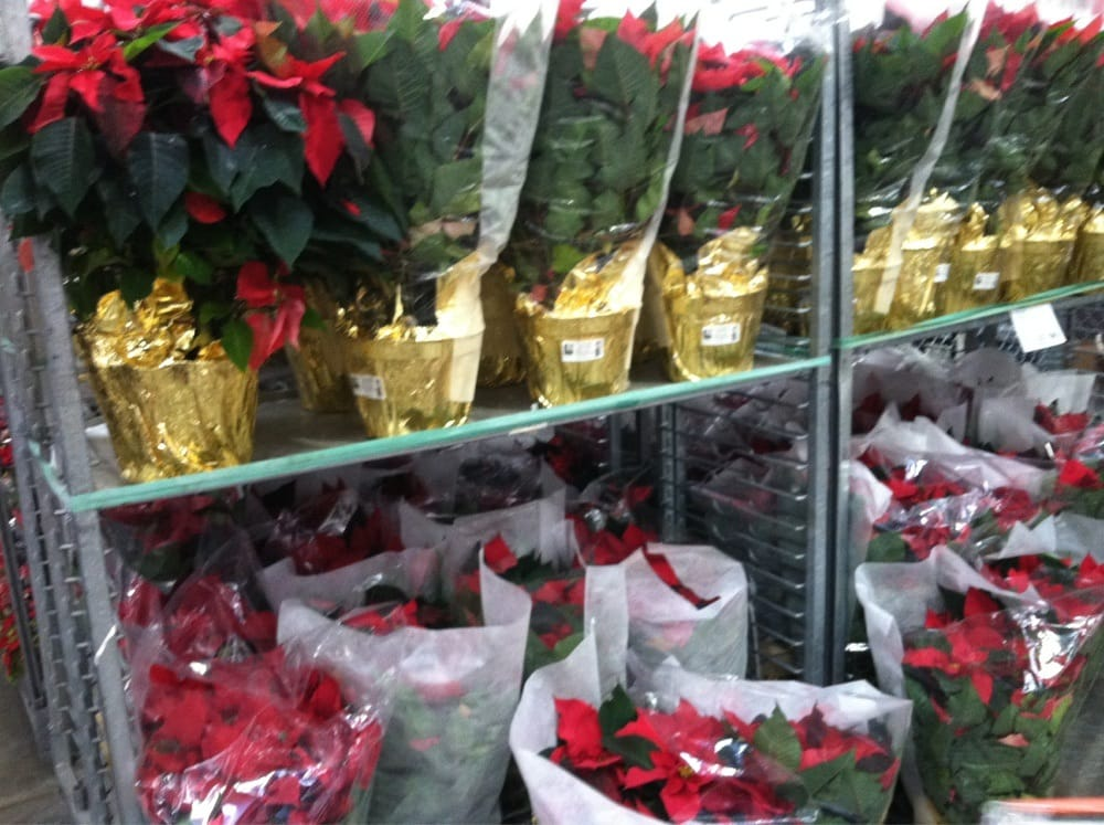 Costco Oil Change >> Large poinsettia plants for just $13. They had much larger plants for $30. - Yelp