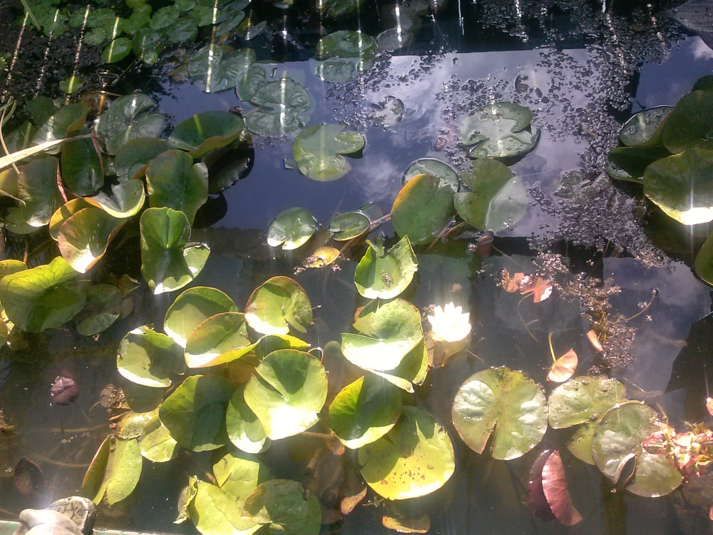 Pond plants for sale yelp for Pond plants for sale
