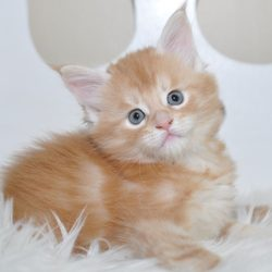 EuroCoons Maine Coon Cattery Maine Coon Breeder - Pet