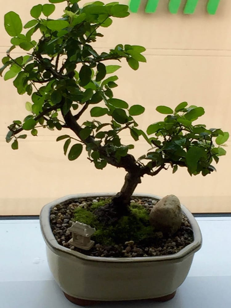 Sageretia Theezans Bird Plum Bonsai Tree Yelp