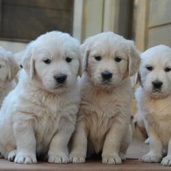 Beloved English Cream Golden Retrievers Pet Breeders 2720