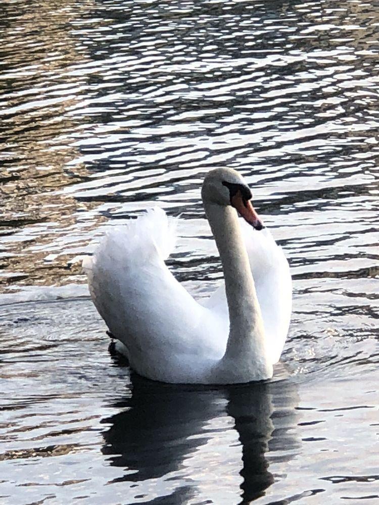 Swan Boat Rentals
