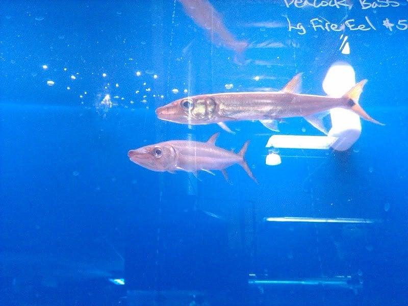 King Aquarium Barracudas For Sale Yelp