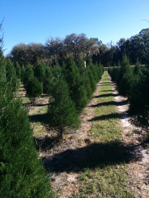Ergle Christmas Tree Farm.Ergle Christmas Tree Farm 3325 Treiman Blvd Dade City Fl