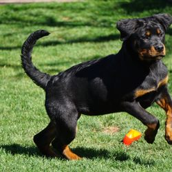 Vom Aguilar Rottweilers - 10 Photos - Pet Stores - 3501 Mall
