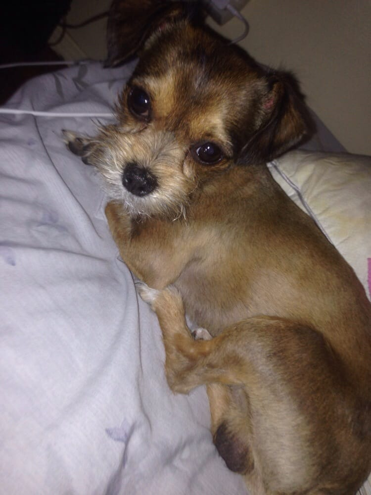 long hair chihuahua yorkie mix baby choobys summer cut chooby is a yorkie and long hair 4338