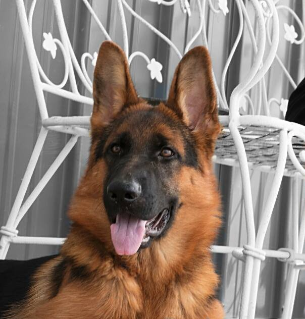 Elite German Shepherds - 203 Photos & 10 Reviews - Pet