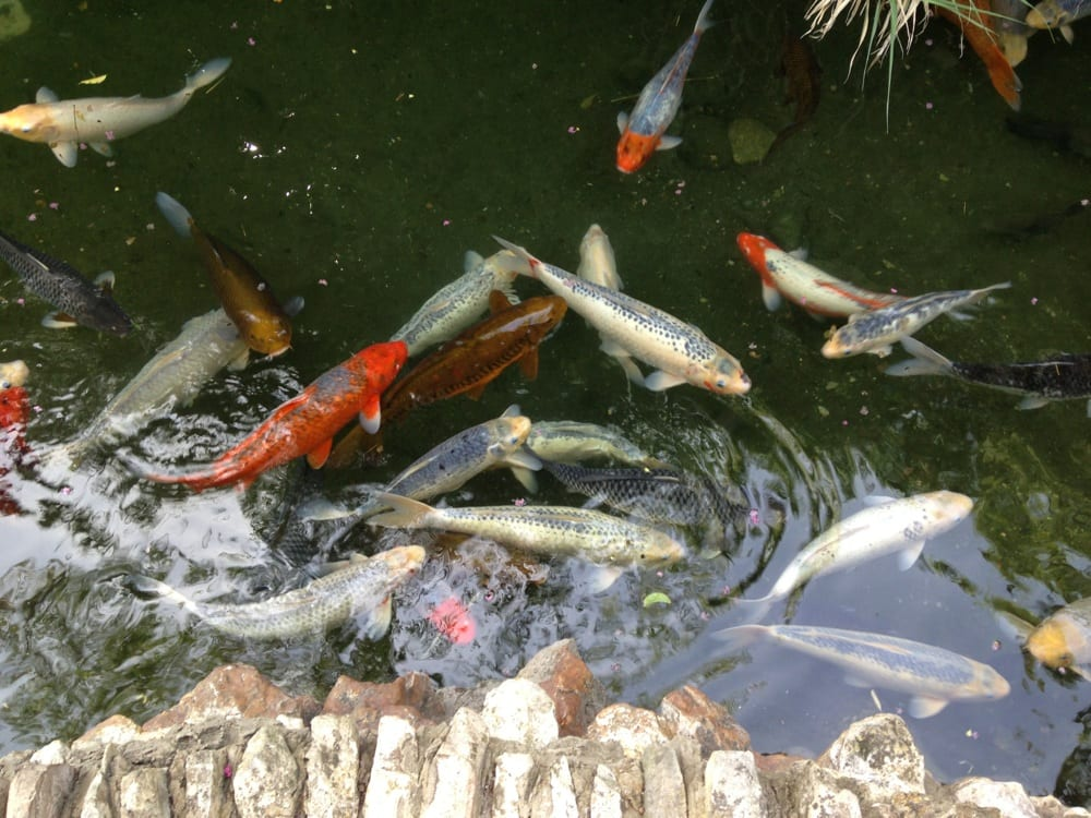 Huge koi fish yelp for Giant coy fish