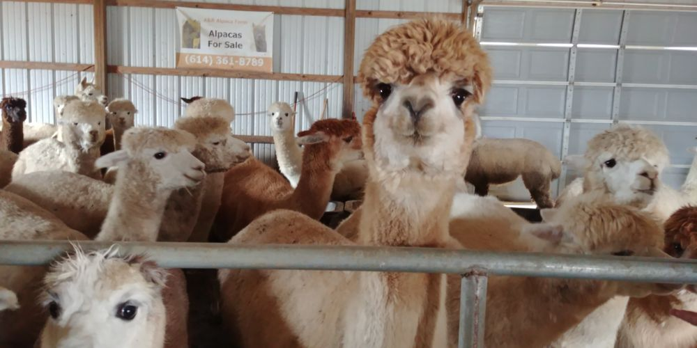 A & R Alpacafarm and Gift Shop: 10981 US Hwy 22, Williamsport, OH