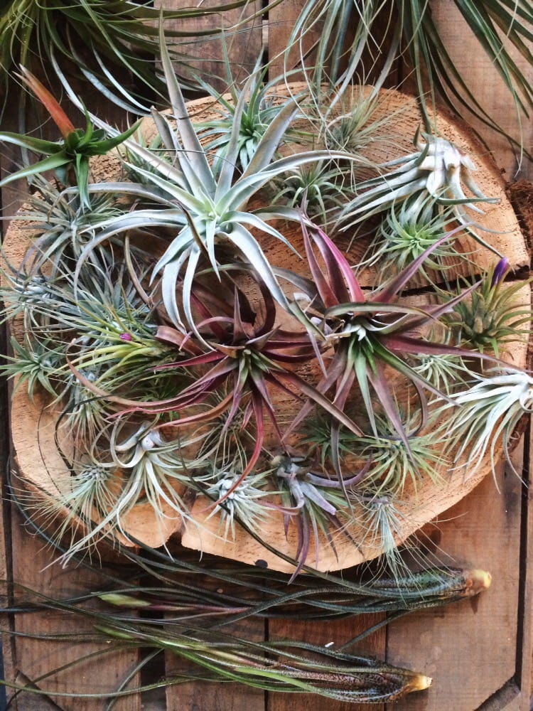 Photo Of Hammer Vine Portland Or United States Beautiful Air Plants