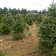 ... Photo of Candy Cane Christmas Tree Farm - Oxford, MI, United States ...