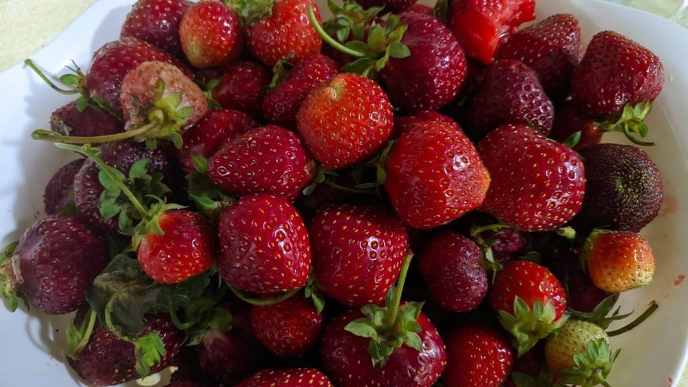 Bagge Strawberries: 2029 170th St, Independence, IA